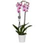 Orchidee phalaenopsis roze in pot (2-tak)